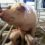 "International Workshop ""RESEARCH IN PIG BREEDING"""