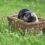Nukleový chov přeštického černostrakatého prasete v Kostelci nad Orlicí