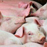 """Kostelecké pracoviště chovu prasat Vás zve na mezinárodní workshop """"RESEARCH IN PIG BREEDING"""""""